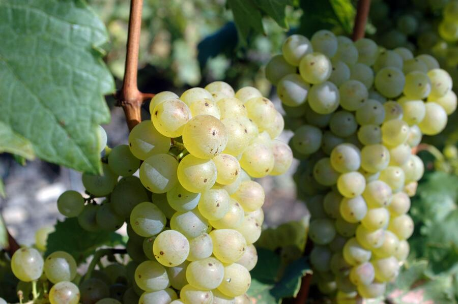Réva vinná 'Římský' - Vitis vinifera 'Římský'