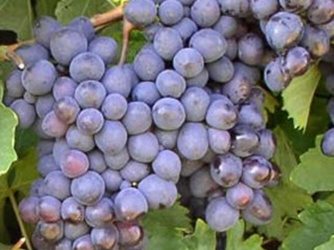 Réva vinná 'Premier' - Vitis vinifera 'Premier'