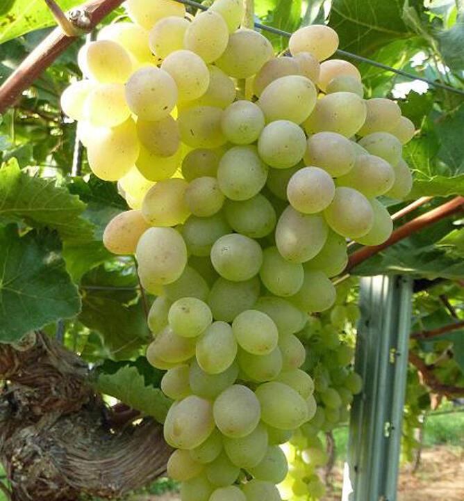 Réva vinná 'Terez' - Vitis vinifera 'Terez'
