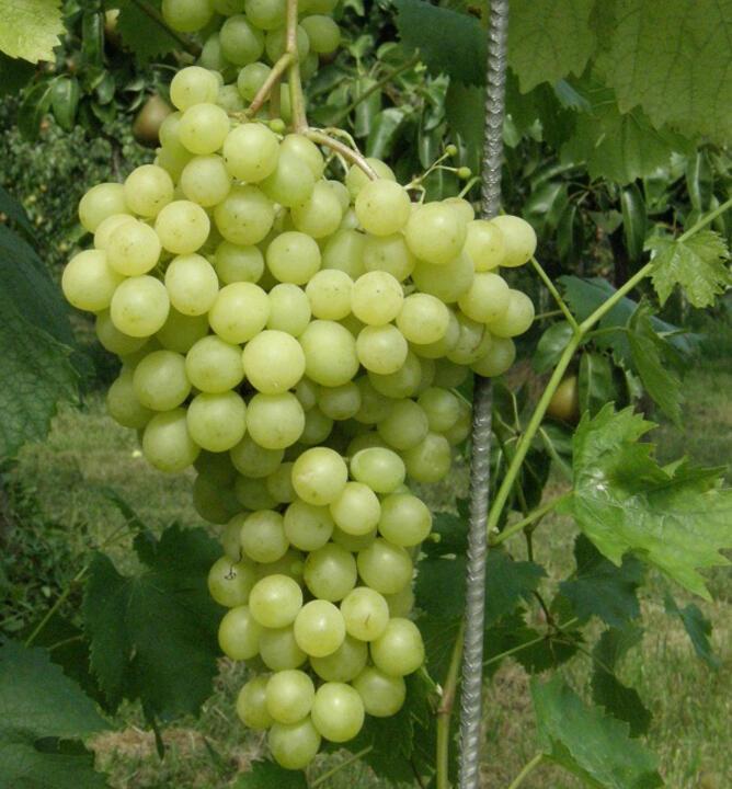 Réva vinná 'Pannonia Kincsze' - Vitis vinifera 'Pannonia Kincsze'