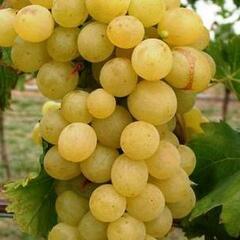 Réva vinná 'Suzi' - Vitis vinifera 'Suzi'