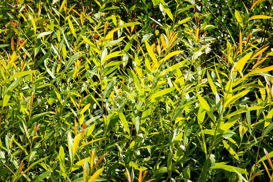 Vrba - Salix irrorata