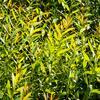 Vrba ojíněná - Salix irrorata