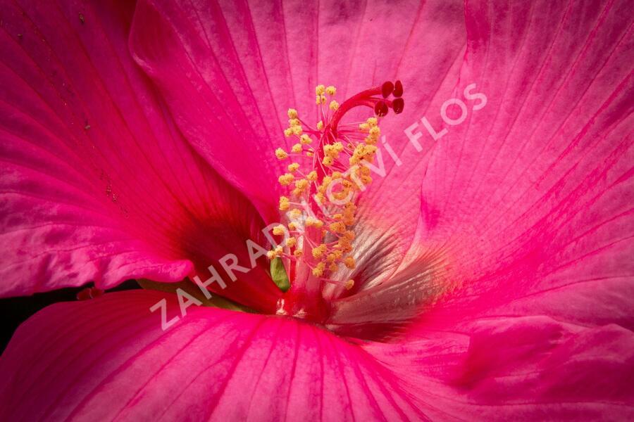Ibišek bahenní Mix - Hibiscus moscheutos Mix