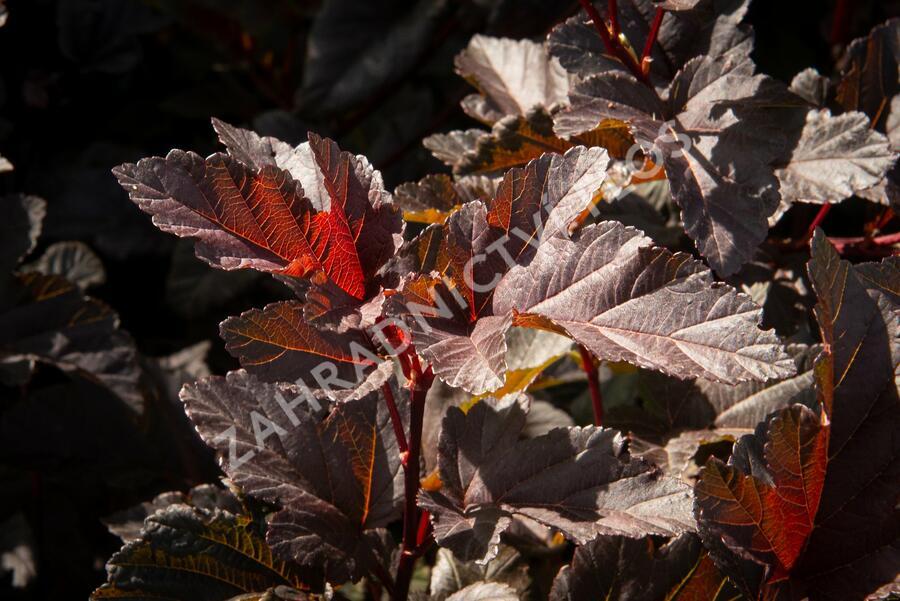 Tavola kalinolistá 'Red Esquire' - Physocarpus opulifolius 'Red Esquire'