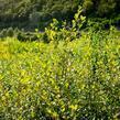 Vrba jíva - Salix caprea