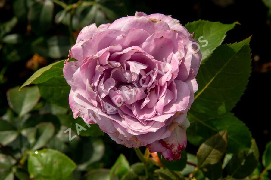 Růže mnohokvětá Kordes 'Novalis' - Rosa MK 'Novalis'