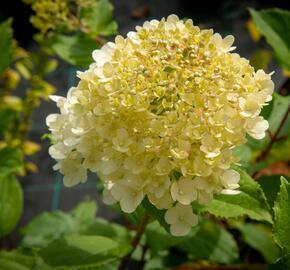Hortenzie latnatá 'Magical Moonlight' - Hydrangea paniculata 'Magical Moonlight'