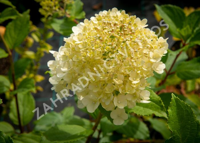 Hortenzie latnatá 'Magical Moonlight' - Hydrangea paniculata 'Magical Moonlight'
