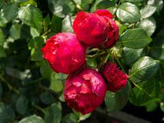 Růže pnoucí Meilland 'Red Eden Rose' - Rosa PN 'Red Eden Rose'