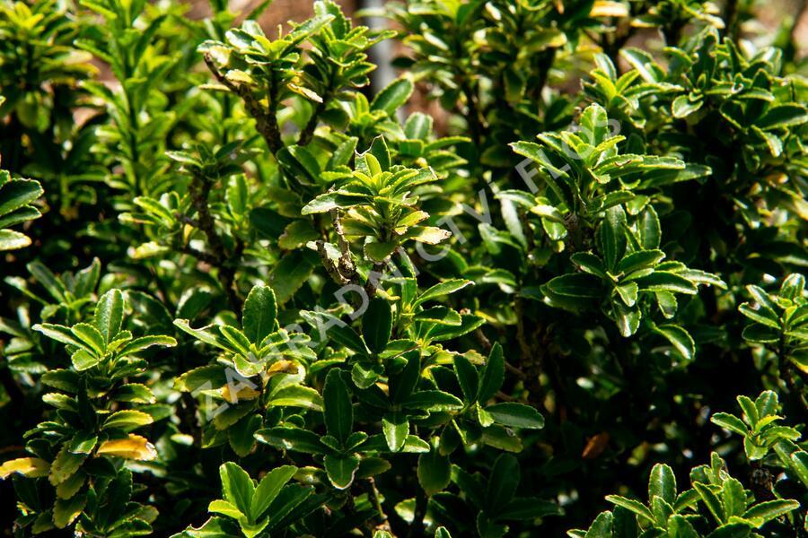 Brslen japonský 'Microphyllus' - Euonymus japonicus 'Microphyllus'