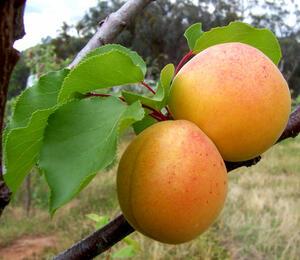 Meruňka obecná - Prunus armeniaca