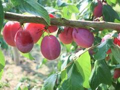 Švestka domácí - Prunus domestica