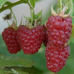 Maliník jednouplodící 'Tulameen' - Rubus idaeus 'Tulameen'