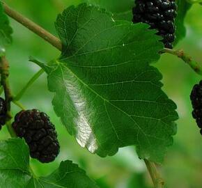 Morušovník černý 'Bzenecká' - Morus nigra 'Bzenecká'