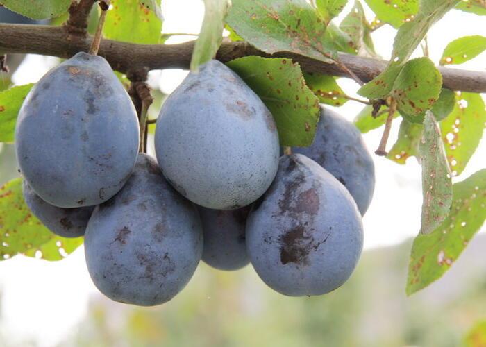 Pološvestka - pozdní 'Gabrovská' - Prunus domestica 'Gabrovská'