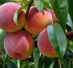 Broskvoň - středně raná 'Redhaven' - Prunus persica 'Redhaven'