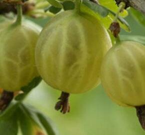 Angrešt žlutý 'Rodnik' - Grossularia uva crispa 'Rodnik'