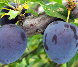 Švestka - pozdní 'Durancie' - Prunus domestica 'Durancie'