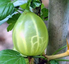 Angrešt zelený 'Green Finch' - Grossularia uva crispa 'Green Finch'