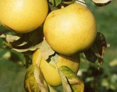 Hrušeň asijská - nashi 'Man Sun Gil' - Pyrus pyrifolia 'Man Sun Gil'
