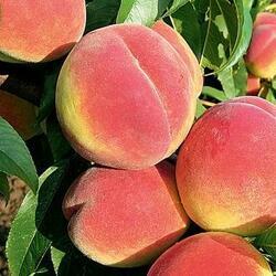 Broskvoň - pozdní 'Fairhaven' - Prunus persica 'Fairhaven'