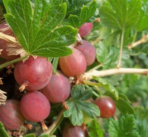 Angrešt červený beztrnný 'Worchester' - Grossularia uva crispa 'Worchester'