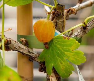 Angrešt žlutý 'Mucories' - Grossularia uva crispa 'Mucories'
