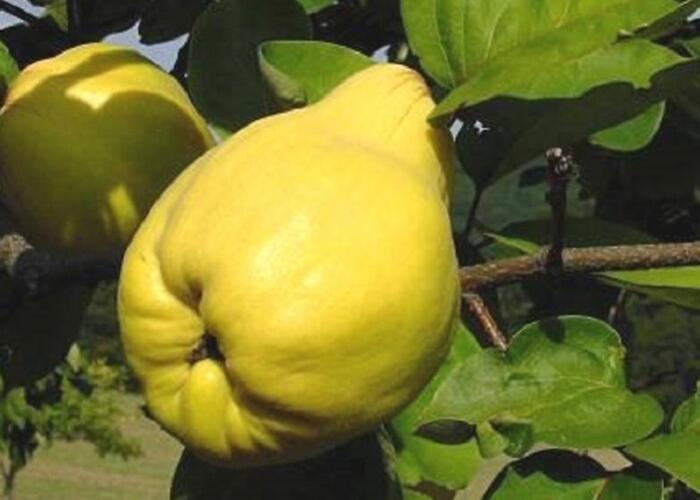 Kdouloň obecná 'Pinterowa' - Cydonia oblonga 'Pinterowa'
