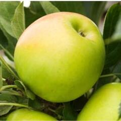 Jabloň domácí 'Bolero' - Malus domestica 'Bolero'