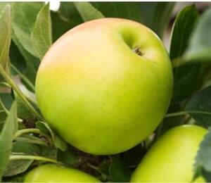 Jabloň sloupovitá 'Bolero' - Malus domestica 'Bolero'