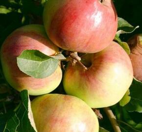 Jabloň domácí 'Polka' - Malus domestica 'Polka'