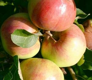 Jabloň sloupovitá 'Polka' - Malus domestica 'Polka'