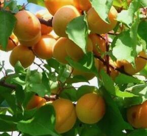 Meruňka raná 'Perla' - Prunus armeniaca 'Perla'