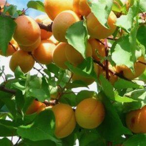 Meruňka - raná 'Perla' - Prunus armeniaca 'Perla'