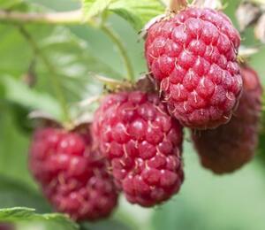 Maliník jednouplodící 'Schönemann' - Rubus idaeus 'Schönemann'