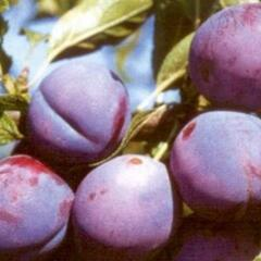Renklóda 'Malvazinka' - Prunus domestica 'Malvazinka'