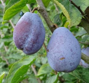 Pološvestka - velmi raná 'Tegera' - Prunus domestica 'Tegera'