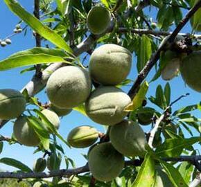 Mandloň obecná 'Supernova' - Prunus amygdalus 'Supernova'