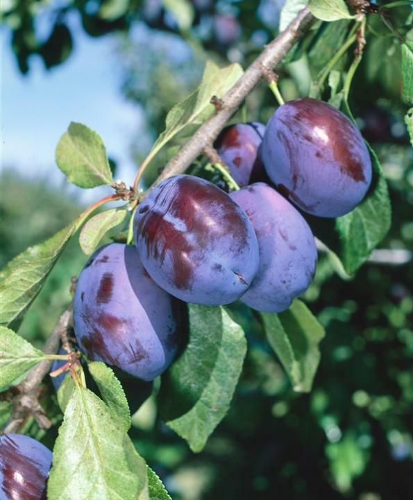 Švestka - pozdní 'Fruca' - Prunus domestica 'Fruca'