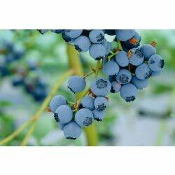 Borůvka chocholičnatá, kanadská borůvka 'Chanticleer' - Vaccinium corymbosum 'Chanticleer'