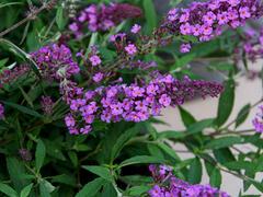 Motýlí keř, Komule Davidova 'Dark Pink' ( Free Petite®) - Buddleia davidii 'Dark Pink' ( Free Petite®)