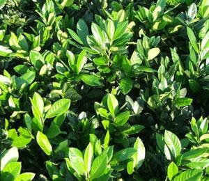 Bobkovišeň lékařská 'Cherry Brandy' - Prunus laurocerasus 'Cherry Brandy'