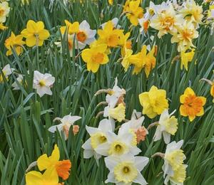 Narcis mix 'Growers Pride' - Narcissus mix 'Growers Pride'
