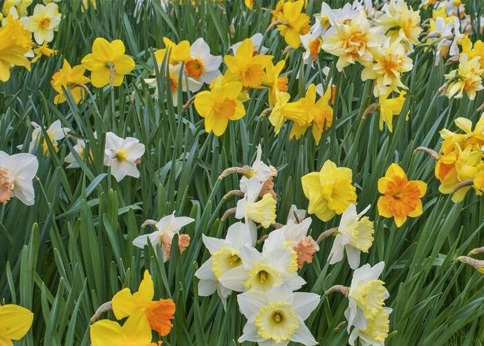 Narcis mix 'Growers Pride' - Narcisus mix 'Growers Pride'