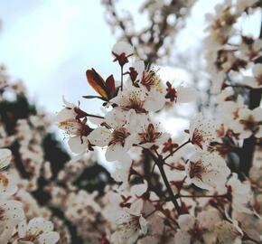 Myrobelán 'Hollywood' - Prunus cerasifera 'Hollywood'
