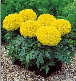 Aksamitník vzpřímený, afrikán 'Antigua Yellow' - Tagetes erecta 'Antigua Yellow'