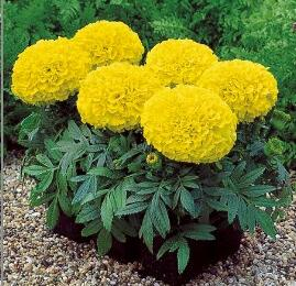 Aksamitník vzpřímený, afrikán 'Antigua Yellow' - Tagetes erecta 'Antigua Yellow'