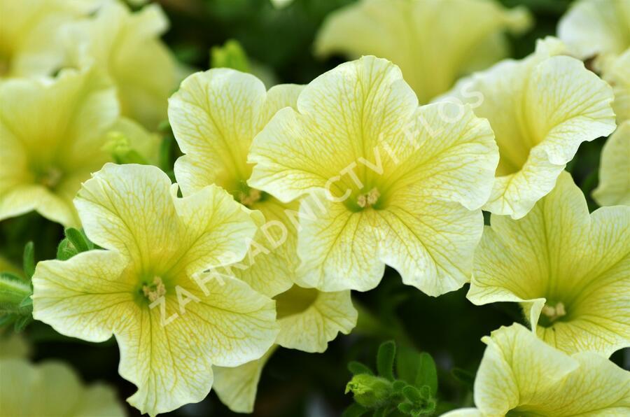 Petúnie 'Victorian Yellow' - Petunia hybrida Surfinia 'Victorian Yellow'