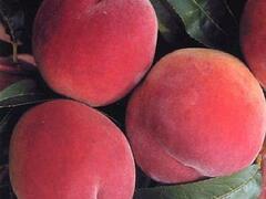 Broskvoň - pozdní 'Envoy' - Prunus persica 'Envoy'